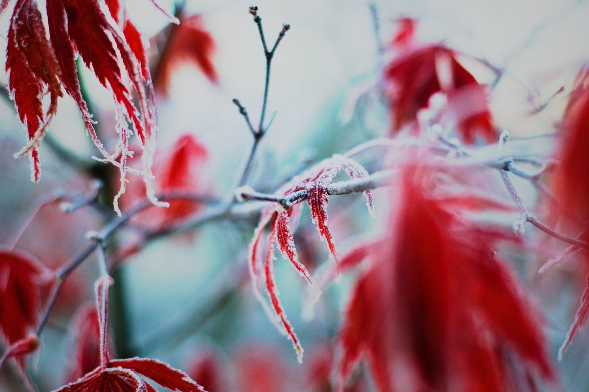 frostmaple